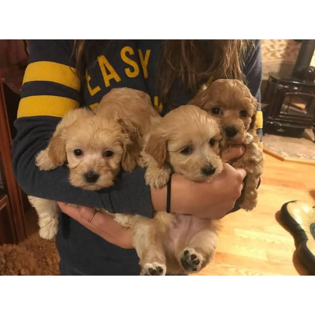 Maltipoo Portsmouth Apricot Maltipoo Puppy For Sale 1800 Or