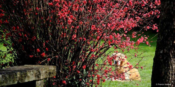 Le Cognassier du Japon ou Chaenomeles japonica est un bel arbuste à floraison précoce au printemps. Découvrez nos conseils pour bien le planter, le tailler, l'entretenir mais aussi l'associer au jardin.