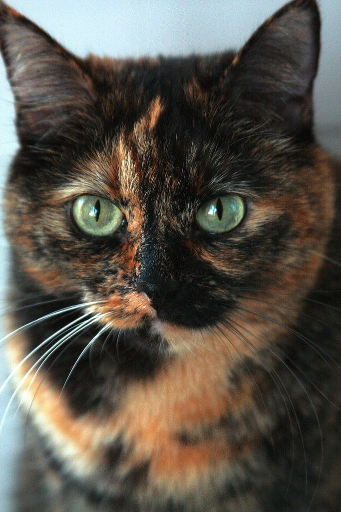 """""""My cat is dressed in a tortoise-shell suit and I know you will delight in her."""" --William Cowpers"""