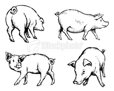 Pigs Illustration