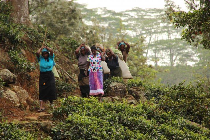 Il tè di Ceylon