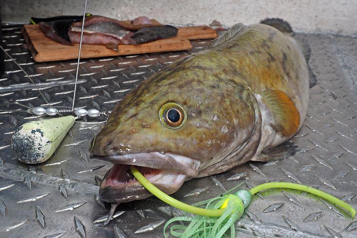 Viele Fische, denen wir beim Angeln in Norwegen begegnen, haben eine echte Schwäche für Naturköder: Leng, Lumb, Seehecht, Rotbarsch und Steinbeißer zum Beispiel. Und auch der mächtige Heilbutt gibt einem echten Fisch an vielen Tagen den Vorzug und ignoriert die bunten Gummiköder. Kurz: Möchtest Du bestimmte Fischarten in Norwegen gezielt fangen, macht der Einsatz von Naturködern absolut Sinn. Meistens wird die Wahl dabei auf einen Köderfisch fallen – Makrele, Hering, Köhler, Rotbarsch... Was…