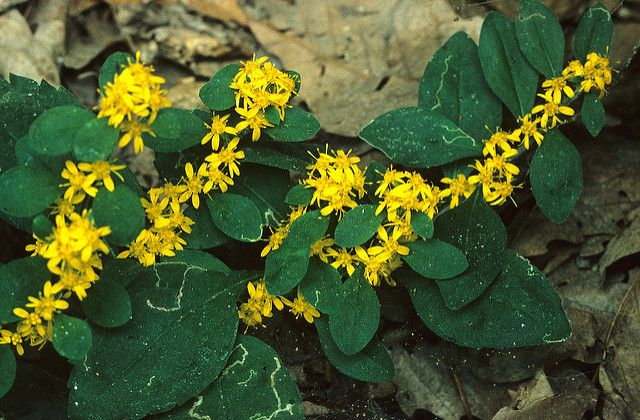 White-Haired Goldenrods Are Thriving Again in Kentucky's Red River Gorge - Decades-long conversation effort struck the right balance between visitor use and habitat protection