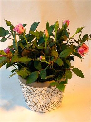 Maria Ceramic pot with mini roses  elegant ceramic pot with stunning silver swirled design filled with miniature roses flowering in many different colours.  http://www.summerhillnurseries.com.au/www/content/default.aspx?cid=1952&fid=1374