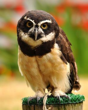 """Spectacled Owl – Their name comes from the white color surrounding their eyes that resembles eyeglasses, or """"spectacles""""."""
