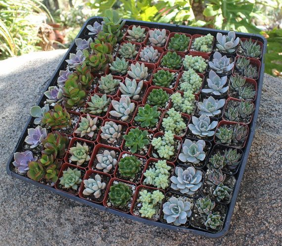 """120 Gorgeous 2"""" Succulents Perfect for WEDDING FAVORS  and Party Favors succulent collection $180"""