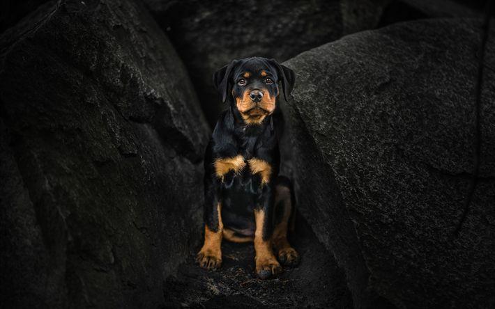 Download wallpapers rottweiler, dogs, puppy, cliffs, cute animals