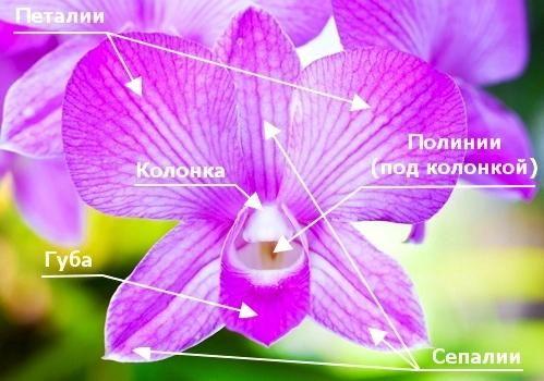 Строение цветка орхидеи