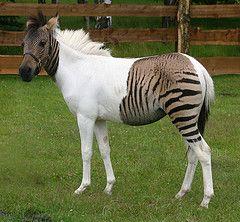 Zebra-Pferd Eclyse im Zoo Safaripark Stukenbrock (uri press) Tags: horse animals zebra holte safaripark stukenbrock zorse zebrahorse eclyse zebrapferd