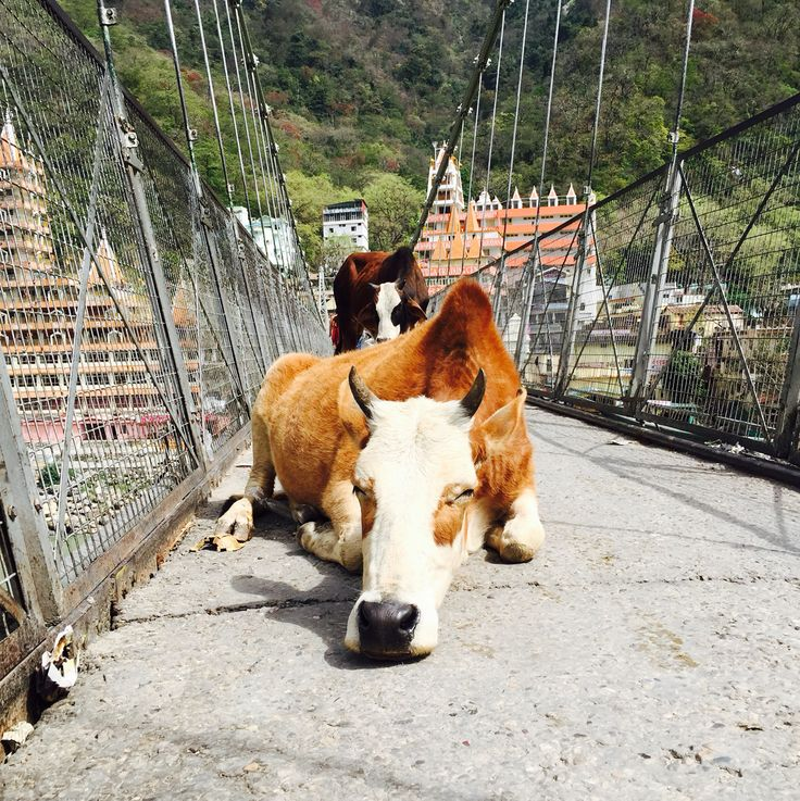 A cow sleeping on the middle of a bridge where people and bikes try to win the race of crossing to the other side. Rishikesh