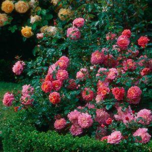 Роза Christopher Marlowe названа в честь драматурга, поэта и современника Шекспира Кристофера Марлоу.Группа – английские розыСуб-группа – leander гибридФорма – кустВысота – от 90 смРаспространение – от 90 смАромат – легкийОкраска – лососево-розоваяТип цветения -...