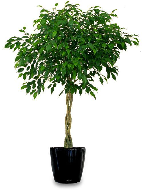Ficus BenjaminaDe ficus is een zeer veeleisende plant. Het licht- en waterniveau moet precies goed zijn, anders gaat hij dood. Als het je lukt om dit goed te doen, is deze mooie plant uitermate geschikt om formaldehyde, benzeen en trichloorethyleen uit de lucht op te nemen
