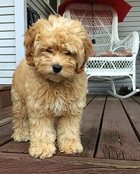 Christy's Cockapoos, Cavapoo puppies | Photo Gallery