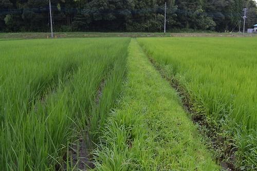長柄町で今年から無農薬で米作りにチャレンジしている大場さんの田んぼ。左側が大場さん、右側が慣行の田んぼ。色の深さや太さが明らかに違います。