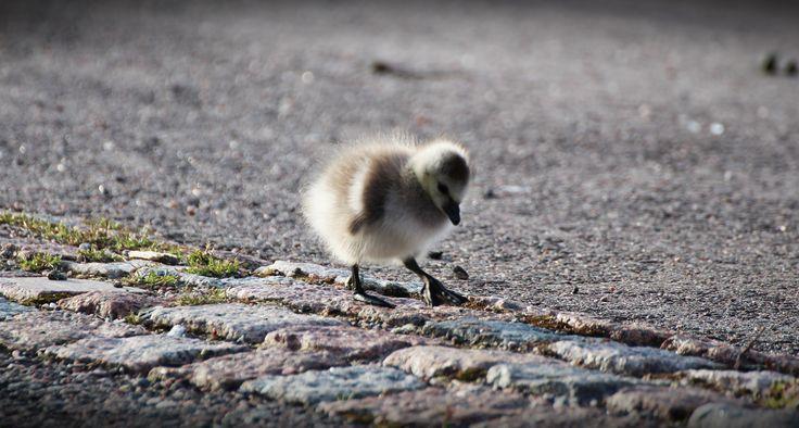 Baby steps. A tiny barnacle goose studying its surroundings in Helsinki, Finland. #barnaclegoose #birdbaby #helsinki #finland #virpikivinen