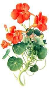 BYLINKY A PRODUKTY PERU | Kapucínka väčšia plod 70g (Tropaeolum majus)