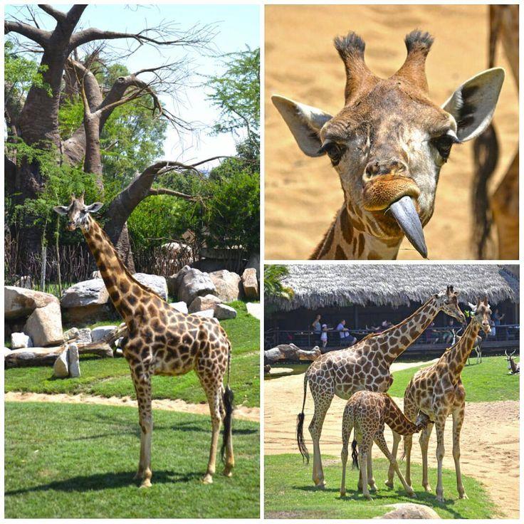 21 de junio, Día Internacional de la #Jirafa | Happy #WorldGiraffeDay | #ExperienciasBioparc | En #BIOPARC #Valencia celebramos el #DiaMundialDeLaJirafa con actividades especiales, campaña de concienciación y recaudación de fondos a través de la Fundación BIOPARC para la conservación de las #jirafas. + Info link en BIO | #igersValencia #giraffe #giraffes #Bioparco #instanimals #photoanimals #PhotoCollage #Биопарк #Валенсии #ValenciaEnamora #igersBioparc #picoftheday