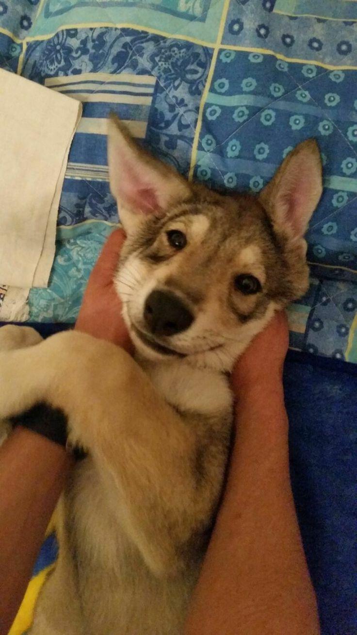 Clelia La Santa di Fossombrone - 70 giorni di età. #Saarloos #Puppy #Cuccioli #DiFossombrone