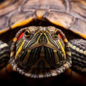 Tb _10869 Sköldpadda