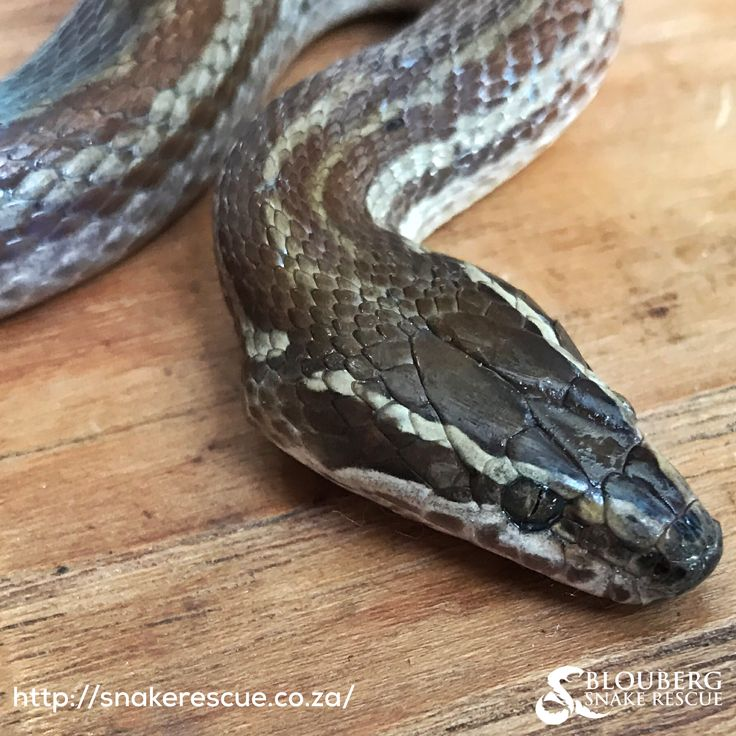 Brown House Snake (Boaedon capensis) - harmless.