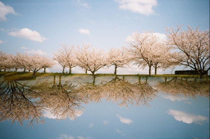 LOMO LC-A - 春 分の 桜 - 分数は苦手 春 桜 多重露光 スプリッツァー こたえは1 - Camera Talk -