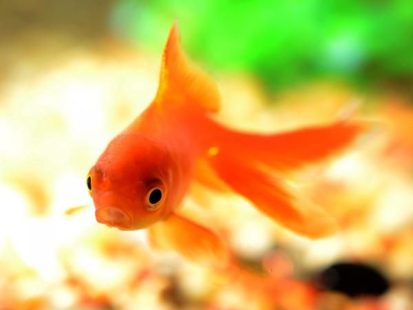 How to Take Care of a Comet Goldfish #pets #fish