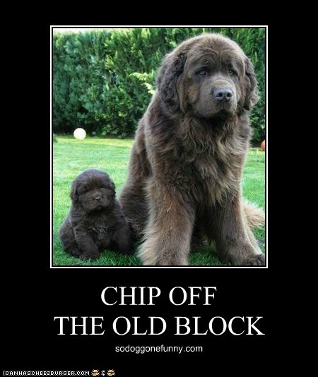 Newfoundland Dogs   There's No Place Like Home