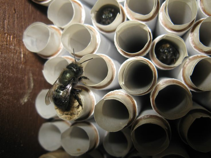 Mason Bees - don't sting, easty to care for, and can do the work of honey bees. Any backyard can raise these crucial pollenators.