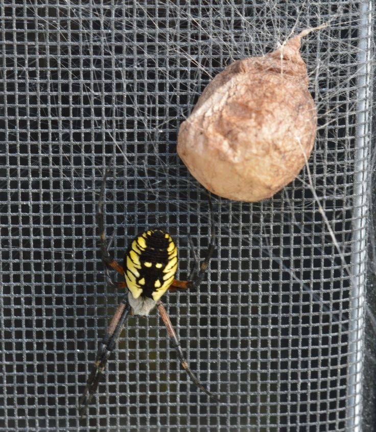 187 best there is a god images on pinterest wild animals water animals and fluffy pets for Garden spider egg sac