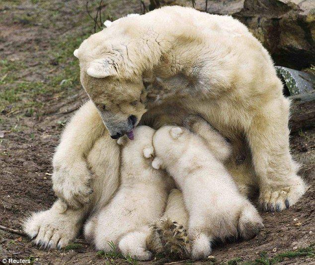 Aww, just born Dec. 2011 Polar Bear with her cubs!: Baby Feeding, Cute Baby, Funny Animal Pics, Bears Hugs, Baby Animal, Baby Polar Bears, New Mom, Baby Bears, Polar Bears Cubs
