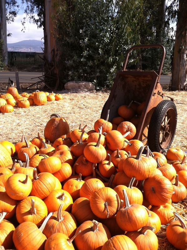 A plethora of pumpkin at the Stanly Lane Pumpkin Patch, Napa, California