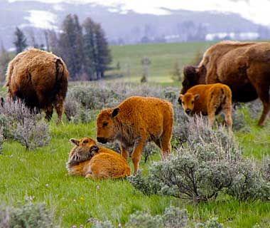 Baby Buffalo, Wyoming
