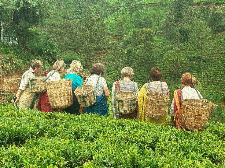 Tea Picking at Kandalama. @maijourneys