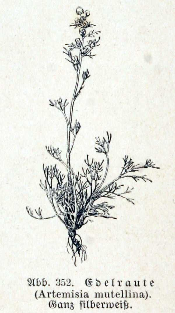 Genepi or Yellow Wormwood, Artemisia Mutellina