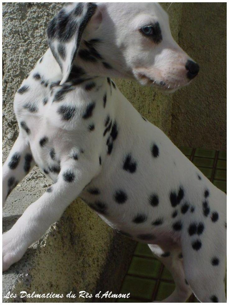 La surdité chez le dalmatien - Elevage de Dalmatiens - Golden Retriever - Braque de Weimar