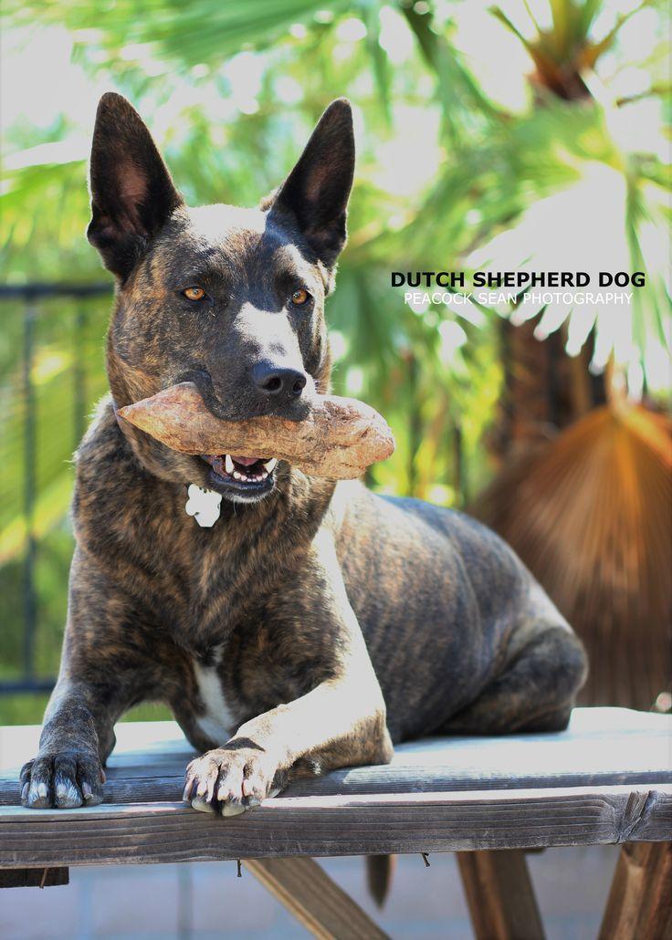 Best 25 Dutch Colonial Exterior Ideas On Pinterest: Best 25+ Dutch Shepherd Dog Ideas On Pinterest