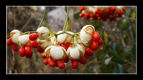 Euonymus fortunei este un arbust evergreen (cu frunze persistente), din familia Celastraceae-lor, nativ din Asia (China, Coreea, Japonia), unde crește în flora spontană, până la o altitudine de 3400 de metri. Florile sunt mici, de culoare ab-verzui,  insignifiante. Spectaculoase sunt însă fructele...
