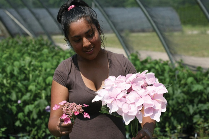Let's Dance Diva - a reblooming hydrangea with the biggest flowers EVER. The flower in her right hand is a typical lace cap hydrangea; Diva is in her left hand. You have to see it to believe it!