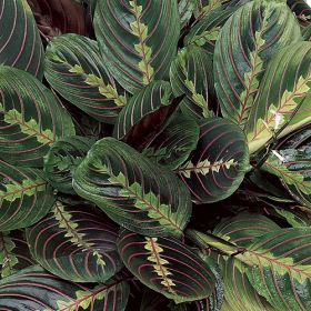 red maranta one of over 400 varieties from exotic angel plants over 400 different foliage. Black Bedroom Furniture Sets. Home Design Ideas