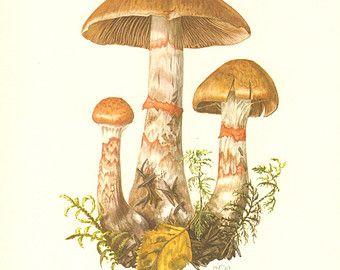 1963 Cortinar or Webcap Mushrooms Vintage by CabinetOfTreasures