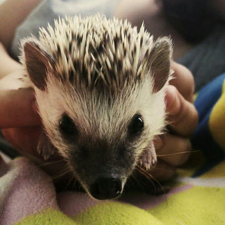 Hedgehog, Rosie, my pet