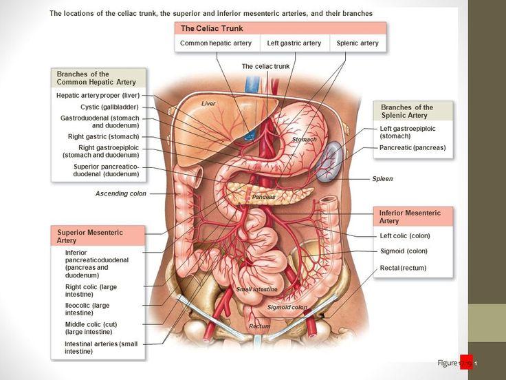 Mejores 79 imágenes de LOM en Pinterest | Ramas, Abdomen y Anatomía