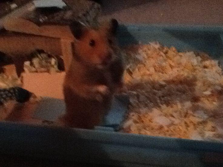 Hammy Hammelizabeth having a staring competition!