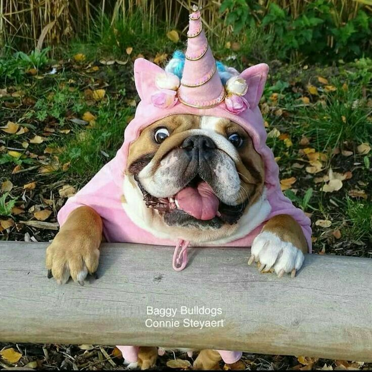 I M A Unicorn Momma Winston Dog Halloween Bulldog Puppies