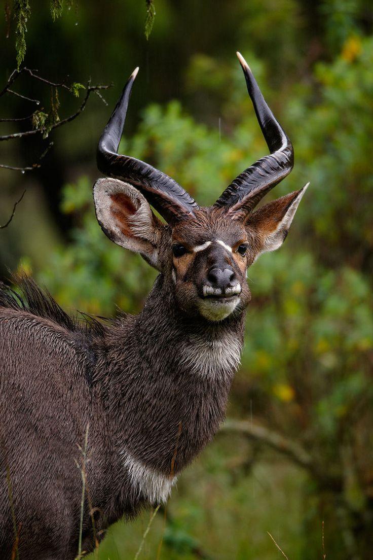 African mountain animals - Mountain Nyala Tragelaphus Buxtoni Photo By Dzman