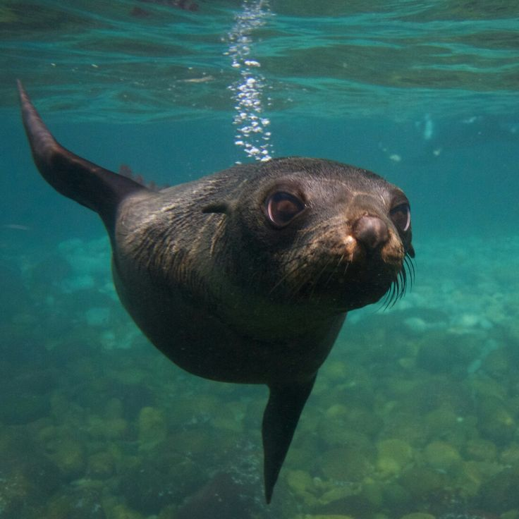 Why should snorkelling with the seals in Tasmania go on your bucket list?  Because the water is incredibly clear and its inhabitants extremely cute and playful!    We offer a 5% discount for all our boat cruises in June. Head over to our blog post to find out how to apply the discount! https://wildoceantasmania.com.au/june-special-5-off-all-cruises/