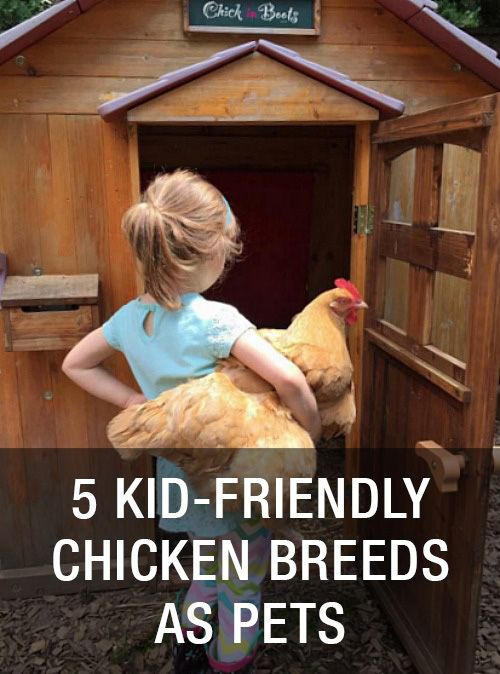 Top 5 Best Kid-Friendly Chicken Breeds As Pets: http://www.mychickencoop.net/top-5-best-kid-friendly-chicken-breeds-pets/
