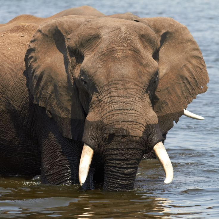 African Elephant African Elephant Bathing In Water 2048