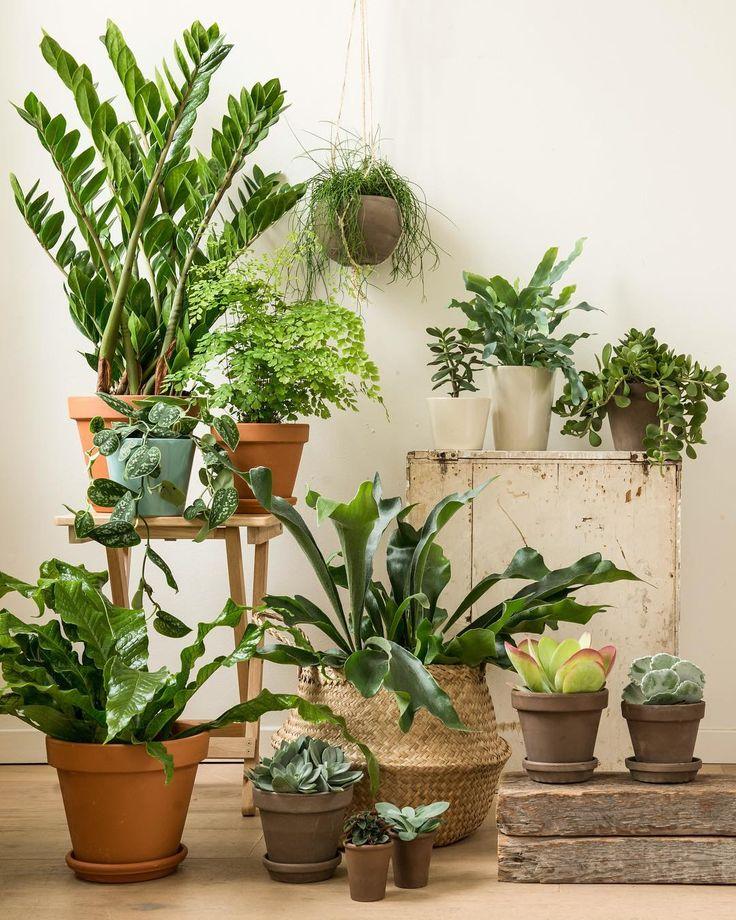 Met een plant erbij is het fijner werken. Groen ontspant én planten zuiveren de lucht voor je. In onze winkels kan je kiezen uit héél veel binnengroen, in alle   soorten en maten. #dillekamille #planten #groen