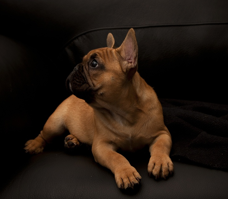 Our French Bulldog, Milu  Named after Milutin Dragicevic